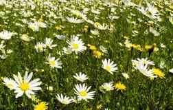 Grama e flores Foto de Stock Royalty Free