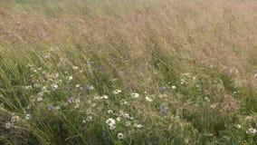 Grama e flores de prado do verão no vento filme