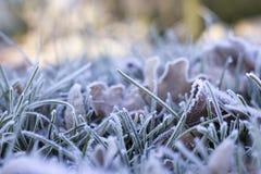 Grama e folhas congeladas Foto de Stock