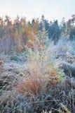 Grama e larício geados na floresta Imagem de Stock Royalty Free