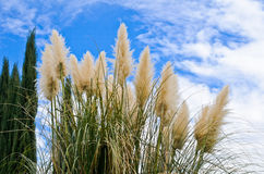 Grama e pinheiros de Pampass contra o céu azul foto de stock royalty free