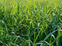 Grama em um fim do gramado acima no verão Imagens de Stock Royalty Free