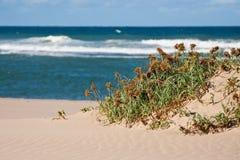 Grama em uma duna de areia Imagem de Stock