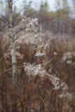 Grama encaracolado seca 2 Imagem de Stock