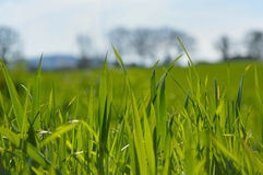 A grama fecha-se acima em um campo Imagens de Stock Royalty Free