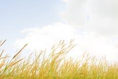 A grama floresce o pedicellatum do Pennisetum no soldado do fundo Imagem de Stock