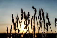 A grama floresce o por do sol retroiluminado. Fotos de Stock Royalty Free