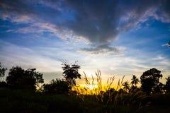 A grama floresce o por do sol retroiluminado. Imagens de Stock Royalty Free