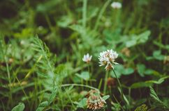 Grama fresca com as flores naturais brancas, fundo verde Natureza do amor, ecologia amigável Conceito novo da vida, símbolo do am Imagem de Stock Royalty Free