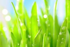 A grama fresca com água deixa cair em raias do sol Imagens de Stock
