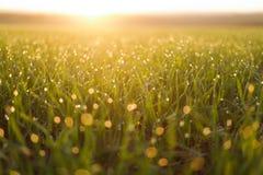 Grama fresca com orvalho no nascer do sol Imagem de Stock Royalty Free