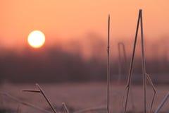 Grama geada no nascer do sol Imagem de Stock