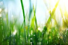 Grama Grama verde fresca da mola com gotas de orvalho Fotografia de Stock