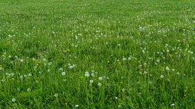 Grama heterogêneo do verão verde com blowballs Imagens de Stock