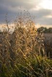Grama longa na luz do sol Fotografia de Stock