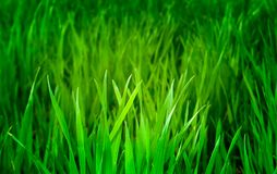 Grama longa verde com luz agradável Fotos de Stock