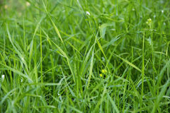 Grama luscious verde Fotografia de Stock