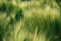 Grama macia verde Jubatum do Hordeum imagens de stock royalty free