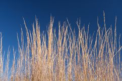 Grama marrom alta na frente de um céu azul Fotografia de Stock Royalty Free