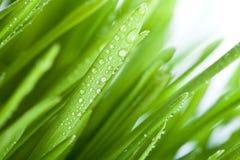 Grama molhada Imagem de Stock