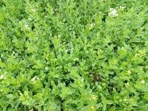 Grama molhada verde da mola com as flores brancas com pingos de chuva Imagem de Stock