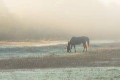 Grama mordiscando do cavalo no nascer do sol em uma névoa pesada Foto de Stock