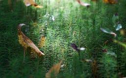Grama na floresta, macro Fotos de Stock Royalty Free