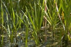 Grama na lagoa Imagens de Stock Royalty Free