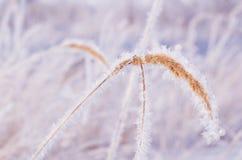 A grama na luz solar suave do inverno da geada O conceito de um inverno real da neve, ar fresco Imagens de Stock