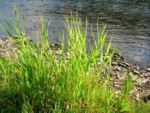 Grama nas rochas perto do rio Imagem de Stock