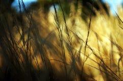 Grama nativa do verão Foto de Stock Royalty Free