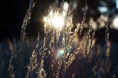 Grama nativa do verão no por do sol Fotos de Stock Royalty Free