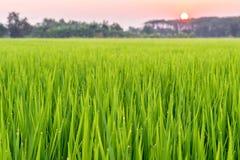 A grama no grassfiled é beleza e gotas de água Imagem de Stock