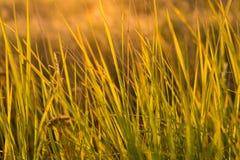 Grama no por do sol Foto de Stock
