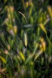Grama no por do sol, efeito macio da imagem do foco Fotografia de Stock Royalty Free