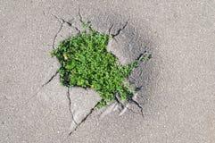 Grama nova sprouted através das rachaduras no asfalto Fotos de Stock