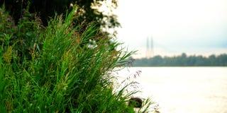 Grama perto da água Lago quieto perto da paisagem verde da floresta fotografia de stock royalty free