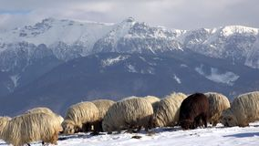 Grama procurando sob a neve, cenário dos carneiros da montanha do inverno filme