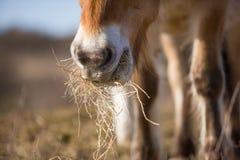 Grama que come o cavalo Foto de Stock
