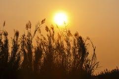 Grama retroiluminada no por do sol Imagens de Stock