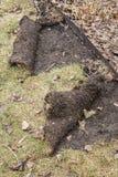 A grama rolou acima pelos guaxinins que procuram as larvas #2 Foto de Stock Royalty Free