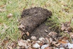 A grama rolou acima pelos guaxinins que procuram as larvas #3 Fotos de Stock Royalty Free