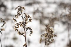 Grama seca dos spikelets no inverno fotografia de stock royalty free