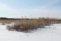 A grama seca e os pinhos na neve fotos de stock