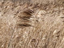 grama seca e vento Fotos de Stock