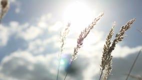 Grama seca em um fundo do céu azul nas orelhas da paisagem da natureza vídeos de arquivo
