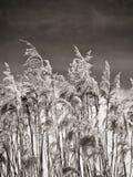 Grama seca no vento Imagem de Stock Royalty Free