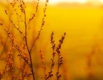 Grama secada da erva daninha na luz solar Fotografia de Stock Royalty Free