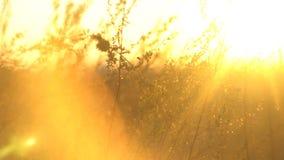 Grama selvagem com o retroiluminado na luz dourada do sol Paisagem com grama seca do estepe Grama do estepe no sol fotografia de stock