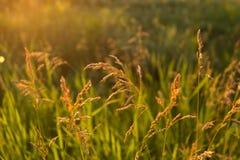 Grama selvagem dourada no por do sol Fotos de Stock